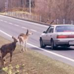 え?合理的?? 車にひかれた動物食べてもOK法案成立か!?
